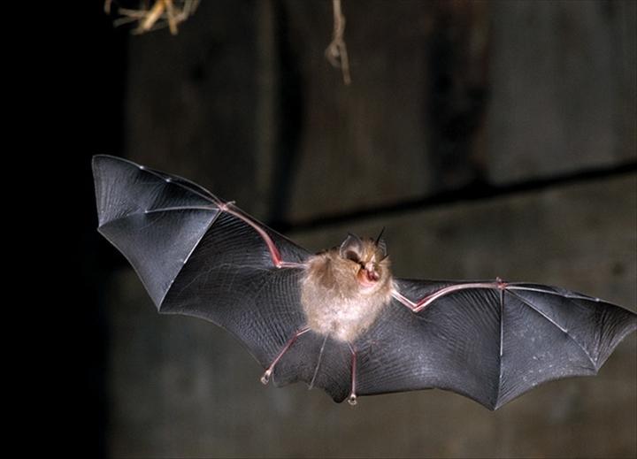 Lutte contre ebola la chasse aux roussettes suspendue au burkina aouaga com - Image de chauve souris ...