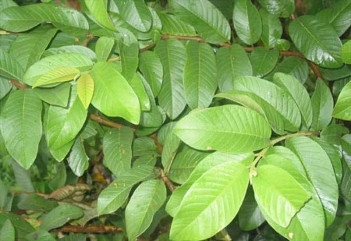 Bienfaits pour la sant des feuilles de goyave aouaga com - Feuille de goyave acheter ...